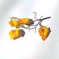 Клен желтый, листья