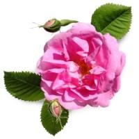 Роза СО2 экстракт, 10 мл