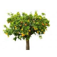 Мандариновое дерево отдушка, 10 мл