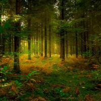 Хвойный лес, отдушка 10 мл